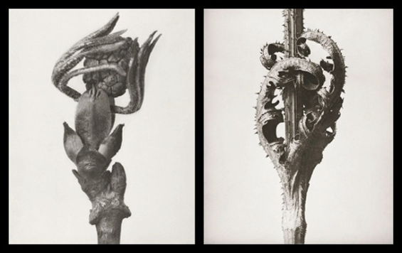 Plant photography by pioneering German photographer Karl Blossfeldt - one of the inspirations for Jeyasingh's Strange Blooms.